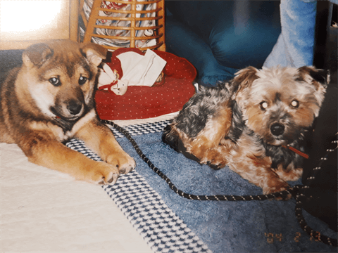 柴犬とヨークシャーテリアの多頭飼い