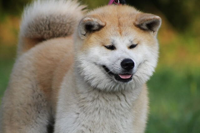 秋田犬 価格