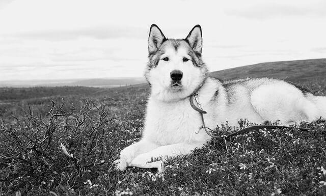 アラスカンマラミュート 歴史