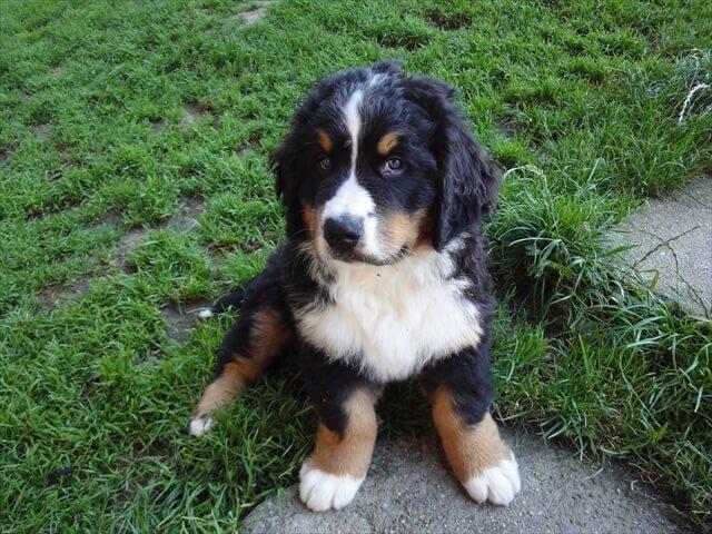 バーニーズマウンテンドッグの仔犬