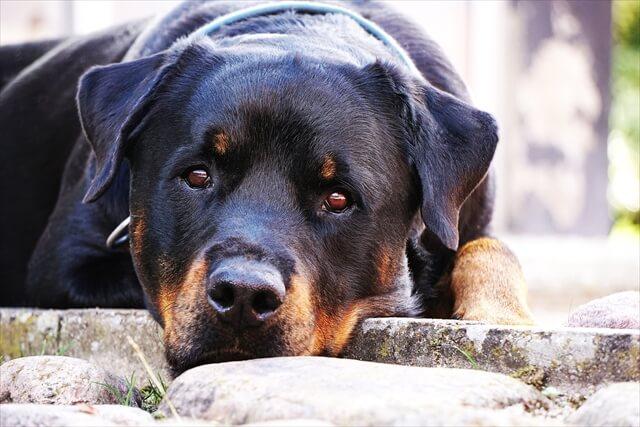 脂漏症 好発犬種