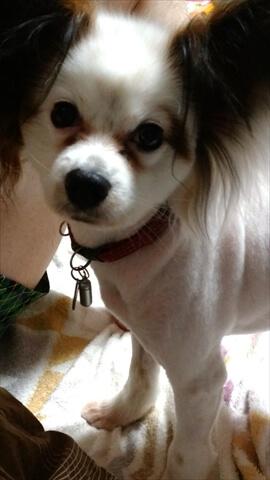 犬のストレス パピヨン