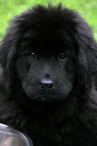 ニューファンドランド 仔犬