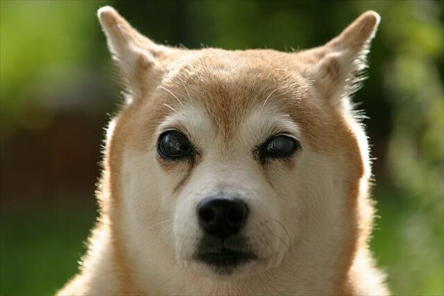 柴犬 ドッグフフード