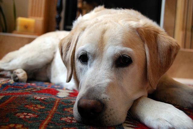 犬 カーペット